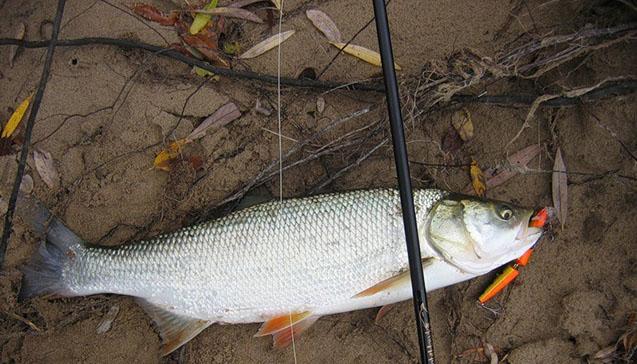 Что из себя представляет рыба жерех.jpg